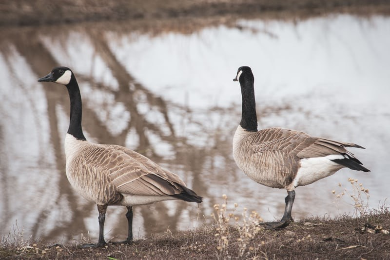 """I'm a Goose, Are You?"""